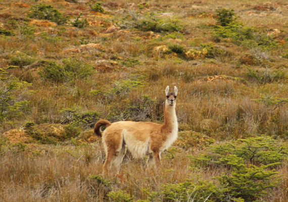 During your walks by the edge of the lake it is possible to see guanacos, beavers, the flight of condors and, if you are lucky, we may see the elusive foxes.